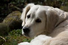 IMG_7946 (Bernfried) Tags: dog cane landwirtschaft natur retriever luna hund hunde 20160331blten