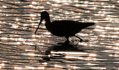 Black Tailed Godwit (The Rustic Frog) Tags: life camera uk sunset wild england black reflection bird nature water silhouette digital canon lens eos feeding mark ripple wildlife brandon reserve ii 7d trust marsh 100400mm warwickshire tailed midlands markii wader godwit
