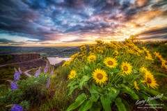 Oregon Wildflowers (Gary Randall) Tags: clouds oregon sunrise columbiariver wildflowers lupine thedalles columbiarivergorge rowena rowenacrest garyrandall balsmaroot randallpics gar77482