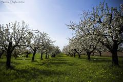 Perdere lo sguardo tra i ciliegi in fiore (succedeancheame) Tags: primavera alberi canon cielo fiori petali ciliegi