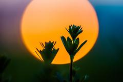Good Night (xxremixx) Tags: sunset plant macro colors night sonnenuntergang sundown bokeh 14 pflanze 85mm makro planar carlzeiss