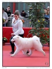 DSC_7309 (animalpicture.fr) Tags: de nikon canine exposition internationale centrale limoges d300 2016 samoyede samoyeda ofsparklingstarlightkennel