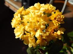 Calanchoe (monyet_uk) Tags: yellow herbs windowsill potplant calanchoe