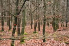 Red dots (-Kj.) Tags: winter tree netherlands forest nationalpark hike trunk moraine overijssel sallandseheuvelrug
