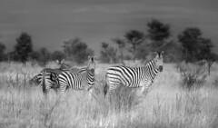 Zebras (Sheldrickfalls) Tags: southafrica zebra krugernationalpark mpumalanga krugerpark kruger plainszebra burchellszebra