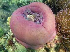 Chumphon, Thailand (ploynatchana) Tags: sea water beautiful thailand underwater snorkel snorkeling seaanemone seaurchin chumphon sjcam sj4000wifi