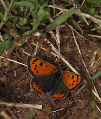 Kleiner Feuerfalter [ Small-copper ] [ Mindre guldvinge ] ( Lycaena phlaeas ) (ritschif) Tags: butterfly natur smallcopper bluling lycaenaphlaeas kleinerfeuerfalter tagfalter dagfjrilar mindreguldvinge