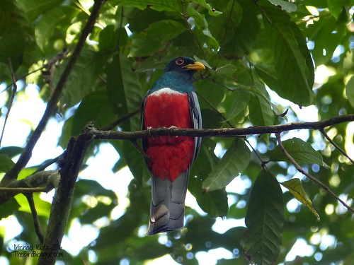 Black-tailed Trogon - Gatun Locks, Panama