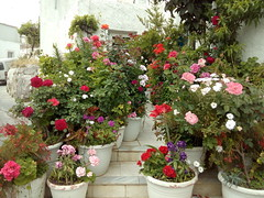 (Psinthos.Net) Tags: flowers roses yard spring alley blossoms neighborhood oldhouse pots april oldbuilding  rosebushes    psinthos           overneighborhood
