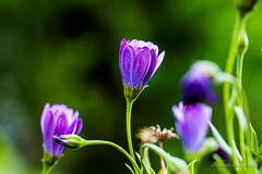 Fleur de jardin 7 (Bouhsina Photography) Tags: wild flower colors beautiful wonderful garden outside amazing bokeh violet jardin morocco maroc couleur ttouan sauvage ef100mmmacro bouhsina 5diii bouhsinaphotography