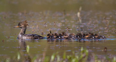 Mama leads the pack (danielusescanon) Tags: wild virginia ducklings chicks hen animalplanet hoodedmerganser lophodytescucullatus huntleymeadowspark birdperfect