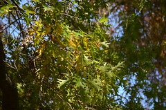 Leaves - Pin Oak tree from 1947 at the Ballarat Botanical Gardens (avlxyz) Tags: oak australia victoria botanicalgardens redoak ballarat fb2 quercuspalustris ballaratbotanicalgardens swampspanishoak pinkoak