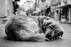 IMG_5546.JPG (esintu) Tags: street sleeping dog sleep istanbul stray asleep sariyer