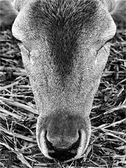 Dozing fallow doe, Newcastle, Texas (Small Creatures) Tags: texture newcastle texas kodak doe deer fallowdeer fallow dx6490 youngcounty