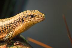Lizard (Vincent1825) Tags: animals pentax ani 200mm louisvillezoo