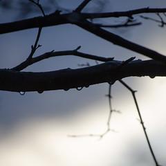 Raindrops (Spannarama) Tags: tree water rain square evening droplets twilight dusk branches japanesemaple raindrops twigs outofmywindow