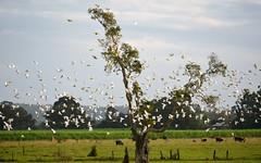 little corellas (dustaway) Tags: flock australia aves birdsinflight northernrivers swanbay littlecorellas richmondvalley psittaculidae richmondriverfloodplains