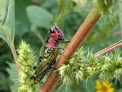 20091003_219 (carlos mancilla) Tags: insectos grasshoppers saltamontes chapulines olympussp570uz