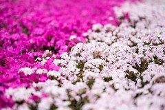 Moss phlox (sonica@2006) Tags: japan one moss bokeh good side it be take fujifilm taking per phlox could fujinon tried advantage blooming the shibazakura xm1 xf35mm