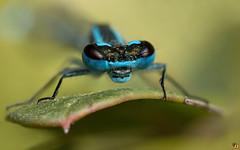 Azure Damselfly  (Rinaldo R) Tags: macro male nature animal closeup insect dragonfly damselfly libellula canonmpe mpe azuredamselfly coenagrionpuella damigella