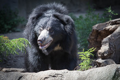 sloth bear. brookfield zoo. july 2015 (timp37) Tags: bear summer zoo illinois july sloth brookfield 2015