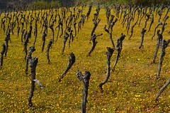Le ballet des ceps  -  The ballet of stocks (Philippe Haumesser Photographies) Tags: flowers abstract france nature field yellow fleurs jaune landscape outside reflex spring vines nikon quiet stocks vineyards alsace vignes vignoble printemps ceps elsass 68 2016 hautrhin d7000 nikond7000