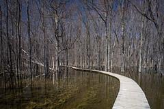 Fais confiance au serpent/You can trust the snake/Du kan lita p ormen [Explore] (Elf-8) Tags: reflection tree water contrast forest spring swamp boardwalk marsh