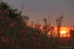 Sunset wildflowers (cattan2011) Tags: travel pink flowers sunset lake nature branch lakedistrict wildflowers naturephotos traveltuesday