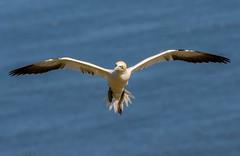 JWL0712  Gannet.... (jefflack Wildlife&Nature) Tags: nature birds countryside wildlife gulls cliffs avian seabirds gannet shorebirds wildbirds bempton coastalbirds