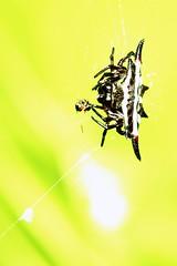 Spiny Orb weaver spider, like a spaceship (tom*quah) Tags: nature canon spider hunter marcos orbweaver speedlite eos5d ef100mm tomquah
