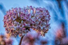 Flowers in mid-winter enchant your garden in January. (scorpion (13)) Tags: winter sky color nature wonderful blossom snowball shrub photoart smells viburnum angainst bodnantense