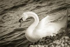 004_4602 (Simone Villani 7D) Tags: bw lake nature canon eos 7d biancoenero vintagestyle lagodigarda seppia cigno blackandwithe lakeofgarda 24105l