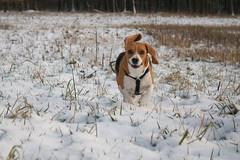 Schneehase (hohash) Tags: beagle