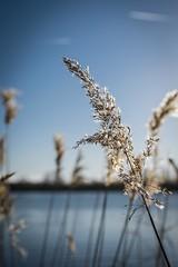 Reed flowers & seed in winter (ParadoX_Design) Tags: winter sky plant flower reed nature water field season flora dof bokeh horizon natuur bloom waterside flevoland bloem seizoen waterkant scherptediepte bloeien deopt