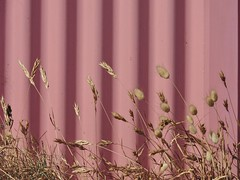 Behind the bathing box (phunnyfotos) Tags: pink shadow summer plant beach bay coast nikon shadows shoreline australia victoria coastal shore vic coastline morningtonpeninsula corrugated foreshore corrugatediron portphillipbay bathingbox p600 safetybeach coastalplant bunnytailsgrass nikoncoolpixp600 phunnyfotos