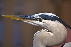 Great Blue Heron  Gatorland Orlando Florida (watts_photos) Tags: blue heron canon orlando florida great 400 400mm gatorland
