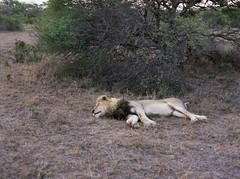 Tired Lion (chillbay) Tags: africa southafrica lion krugernationalpark kruger tandatula krugerafrica