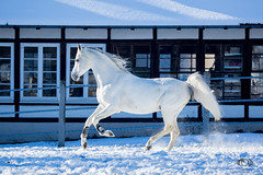 Said_20164783 (OliverSeitz) Tags: said pferd pamir schimmel hengst arabianhorses sadana i vollblutaraber hauptundlandgesttmarbach arabischepferde oliverseitz oliseitzde