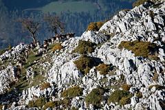 Dama Dama (Luis Alvarez Menndez) Tags: naturaleza asturias colunga picu damadama gamos pienzu