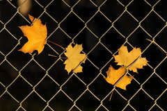 Captives (arbyreed) Tags: fallleaves fence maple fallcolors mapleleaves hff arbyreed fencedfriday