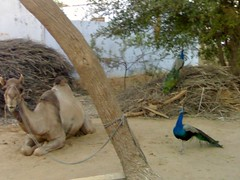 A #camel & #peacocks in the #village of #Goad at the border of #Haryana & #Rajasthan.  #birds #India #countryside #rural #nature #photooftheday #picoftheday #Narnaul (Anil.Yadav1) Tags: india nature birds rural countryside village camel goad rajasthan peacocks photooftheday picoftheday haryana narnaul