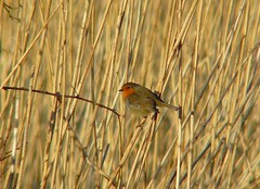Robin XV (Dr Nigel) Tags: england bird nature robin birds reeds lumix wildlife reserve panasonic naturereserve northeast teleconverter codurham dwt lowbarns accentor raynox bishopauckland dmcfz8 lowbarnsnaturereserve dcr2025pro