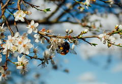 Bumble (CamMonkeh) Tags: flowers trees light nature beauty insect blossom bokeh wildlife cosina 28mm sunny bee bumblebee blueskies manualfocus gx7 microfourthirds