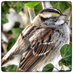 White Throated Sparrow in ivy (DianeBerky19) Tags: wild backyard ivy whitethroatedsparrow nikoncoolpixp900