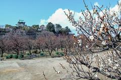 White plum blooming in Osaka Castle (shinichiro*) Tags: winter flower japan january osaka crazyshin  osakacastle plumblossoms 2016   plumgrove   sd1m sigma1770mmf284dcmacrohsm sigmasd1merrill 20160114sdim1023