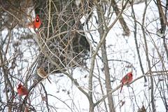 Splash of Cardinals (danbruell) Tags: winter bird cardinal