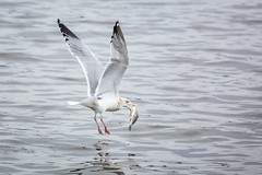 Biting off More then He Could Chew (jeff_a_goldberg) Tags: us unitedstates gull iowa mississippiriver bettendorf bif birdinflight ringbilledgull larusdelawarensis lockanddam14