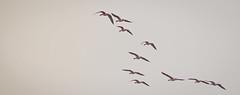 Follow me boys ! (NSJW photos) Tags: sky bird nature birds outdoors flying geese 10 flight ten vformation greylaggeese humberestuary nsjwphotos