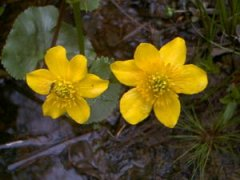"Marsh marigold • <a style=""font-size:0.8em;"" href=""http://www.flickr.com/photos/27734467@N04/24461800643/"" target=""_blank"">View on Flickr</a>"
