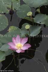 38905 Lotus (Nelumbo nucifera) flowering in an old tin mining pond, Perak, Malaysia. (K Fletcher & D Baylis) Tags: plant flower pond flora lotus malaysia perak aquaticplant indianlotus sacredlotus nelumbonucifera beanofindia nelumbiumspeciosum february2016